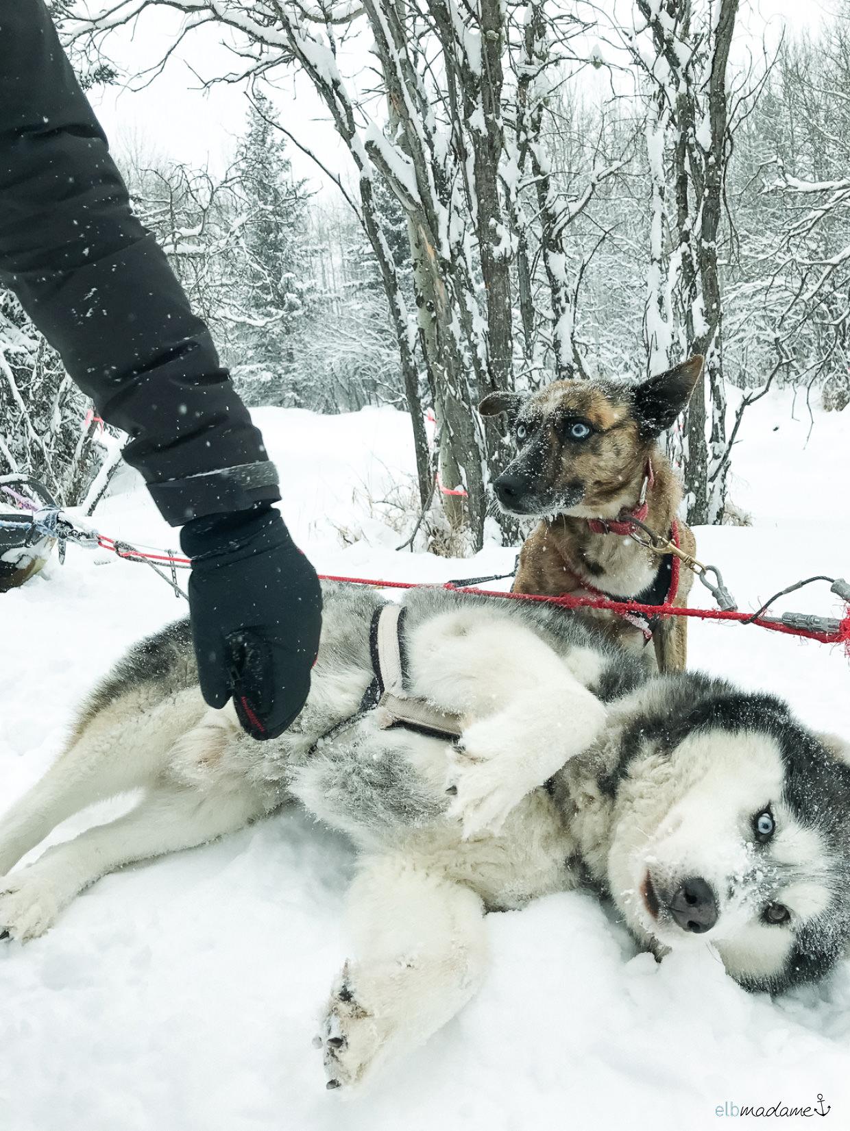 Husky in Kanada