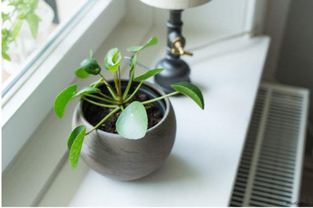 Gründpflanze Sukkulente